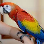 Ara arakanga - птенцы выкормыши 3-4 мес. из питомников европы