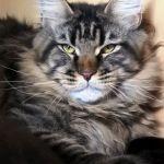 Питомник предлагает котят породы мейн-кун от импортных производителей