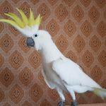 Желтохохлый какаду Элеонора (cacatua galerita eleonora) ручные птенцы из питомников Европы